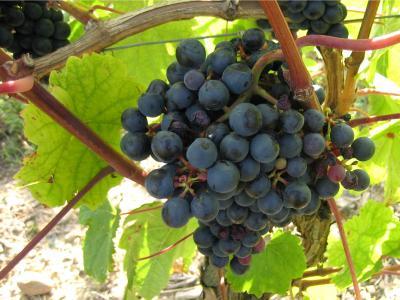 raisins noirs