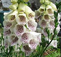 Image : Digitale à grandes fleurs - Fleur digitale