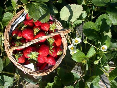Photo : Panier de fraises