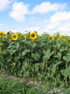 Photo : Champ de tournesol