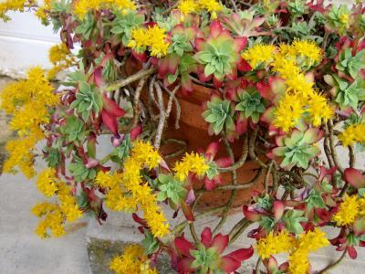 Image : Joubarbe - Plante joubarbe