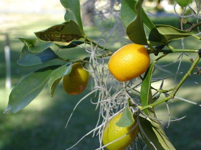 Image : Kumquat - Kumquat