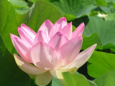 Image : Lotus - Fleur de lotus
