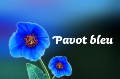 Image : Pavot bleu - Pavot