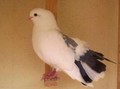 Image : Pigeon, palombe, ramier, bizet - Pigeons