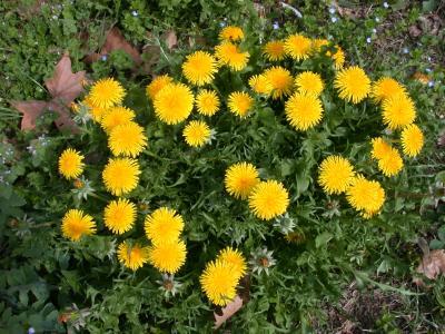 Image : Pissenlit - Le pissenlit en fleur