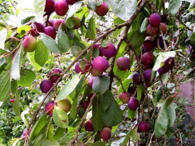 Image : Quetsche - Branche d'arbre chargée de quetches