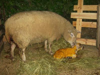 Image : Mouton - Mouton