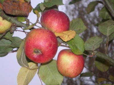 Image : Flavonoïdes - Pommes