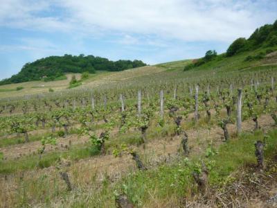 Image : Vins du Jura - Vignes du Jura