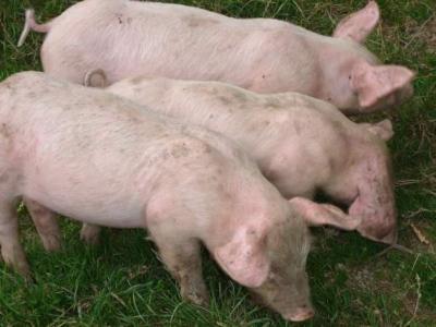 Image : Abattage - Porcs
